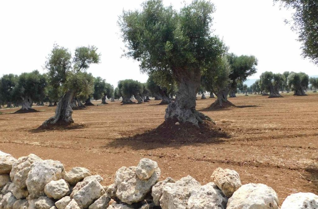 Do you know olive trees in Puglia? Curiosities about the torsion of old trees