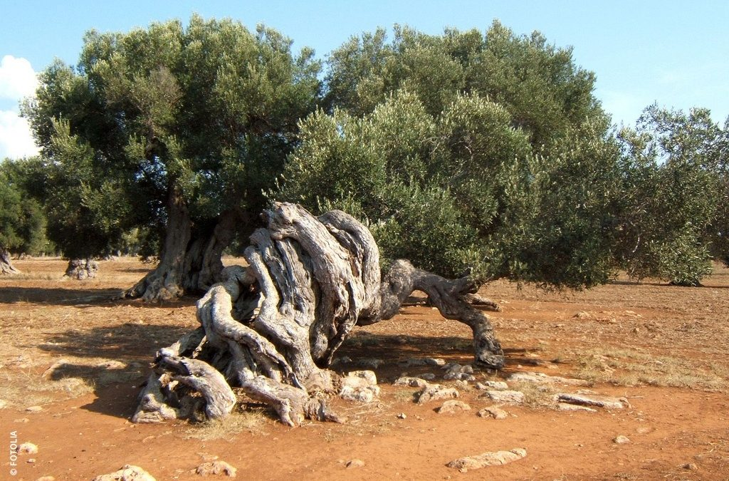 """Olive tree age.""""Thinking Olive Tree"""", a sculptural natural wonder in Ginosa"""